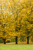 Autumnal trees in park. Royalty Free Stock Photography