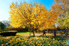 The autumnal trees Royalty Free Stock Images