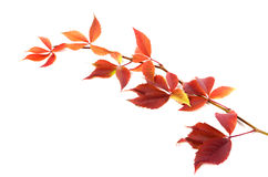 Autumnal twig of grapes leaves (Parthenocissus quinquefolia foli Stock Images