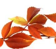 Autumnal twig of grapes leaves (Parthenocissus quinquefolia foli Royalty Free Stock Photo