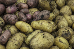 Autumnal vegetables gather. Autumnal potatoes gather background close up stock photography