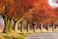 Autumnal view of alley of chokeberry. Arrouund the road Stock Photography