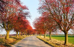 Autumnal view of alley of chokeberry. Arrouund the road Royalty Free Stock Photo