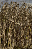 Autumnal view close up of maize field Stock Image
