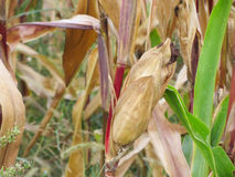 Autumnal view on a corn field Royalty Free Stock Photography