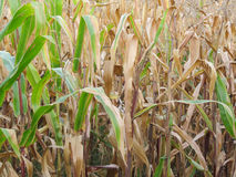 Autumnal view on a corn field Royalty Free Stock Images