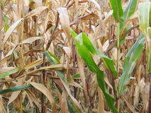 Autumnal view on a corn field Royalty Free Stock Image