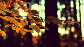 Autumnal view in the forest, sepia tone. Autumnal leaves in the forest, sepia tone stock video footage