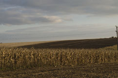 Autumnal view of maize field Stock Photography