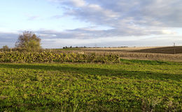 Autumnal view of maize field and vineyard Royalty Free Stock Photo