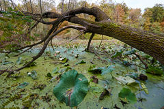 Autumnal view of a swamp Stock Images