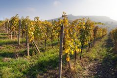 Autumnal view of vineyard Royalty Free Stock Photo