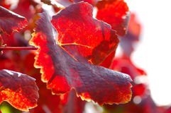 Autumnal Vine Leaf. A Red Autumnal Vine Leaf Royalty Free Stock Image