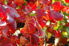 Autumnal Vine Leaves. Leaves and Grapes on an autumnal Vineyard Royalty Free Stock Photography