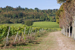 Autumnal Vineyard. A working vineyard on a sunny Autumn day Stock Photo