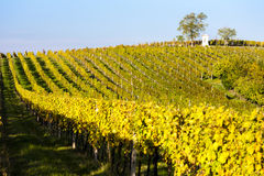 Autumnal vineyard Royalty Free Stock Images