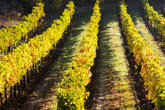 Autumnal vineyard Stock Photo
