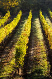 Autumnal vineyard Stock Photos