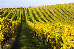 Autumnal vineyard Stock Image