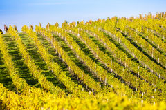 Autumnal vineyard Stock Photography