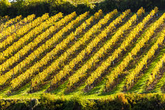 Autumnal vineyard Royalty Free Stock Photos