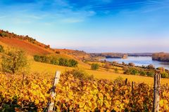 Autumnal vineyard in the sunlight on the Rhine royalty free stock images