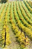 Autumnal vineyards Royalty Free Stock Photo