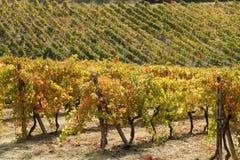 Autumnal vineyards Stock Photography
