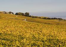 Autumnal vineyards. Vineyards on the hills in autumn Stock Photos