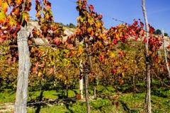 Autumnal Vineyards on badlands Stock Image
