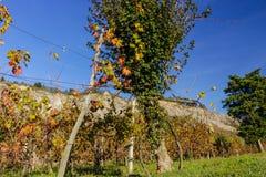 Autumnal Vineyards on badlands Royalty Free Stock Photo