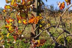 Autumnal Vineyards on badlands Stock Photo