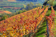 Autumnal vineyards on the hills in Piedmont, Italy. Royalty Free Stock Photo