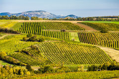 Autumnal vineyards Stock Photo