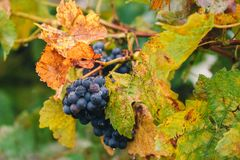 Autumnal vineyards in the South Moravian Region stock photo