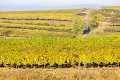 Autumnal vineyards Royalty Free Stock Photos