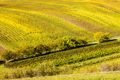 Autumnal vineyards Royalty Free Stock Photography