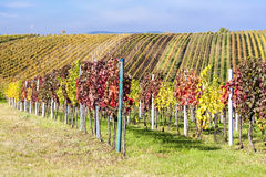 Autumnal vineyards Stock Image