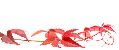 Autumnal Virginia creeper on white Royalty Free Stock Images