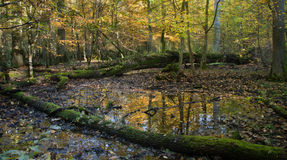 Autumnal wet deciduous stand with standing water Stock Image