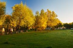 The autumnal white poplar Stock Photography