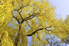 Autumnal willow Stock Photo