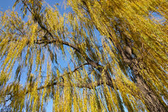 Autumnal willow Royalty Free Stock Images