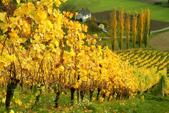 Autumnal wine yards Royalty Free Stock Photography