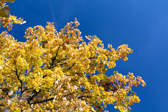 Autumnal yellow foliage against blue sky Stock Photography