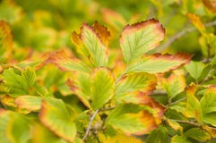 Autumnal yellow leaves Stock Photo