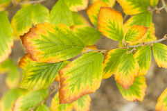 Autumnal yellow leaves Royalty Free Stock Image