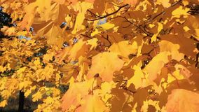 Autumnal yellow leaves stock video footage