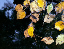 Autumnal yellow leaves floating in puddle after rain Stock Photo