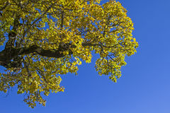 Autumnal yellow maple leaves Stock Image